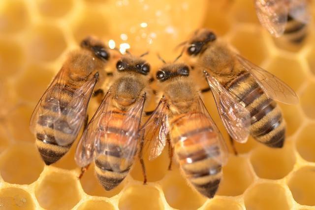 地址养殖技术|数控分蜂与养王(上)老虎坑填埋场蜜蜂图片